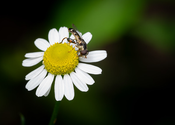 Syrphid Fly on Chamomile