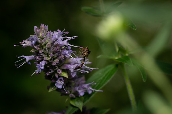 Syrphid Fly on Hyssop (Agastache)
