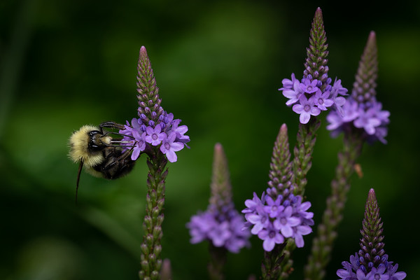 Bombus Male on Blue Vervain