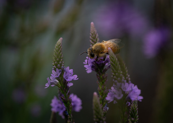 Honey Bee on Blue Vervain