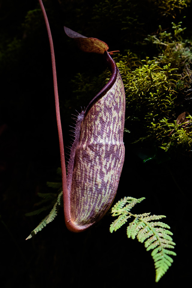 Mossy Forest Pitcher Plant