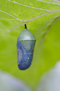 Monarch Chrysallis