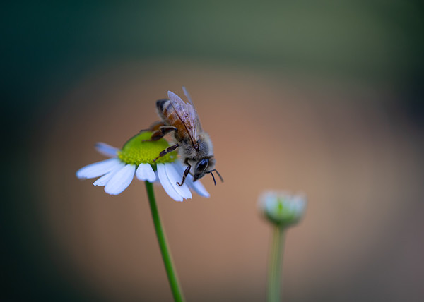 Honey Bee on Chamomile