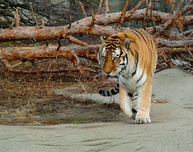 Siberian Tiger 4