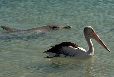 Delfin u Pelikan
