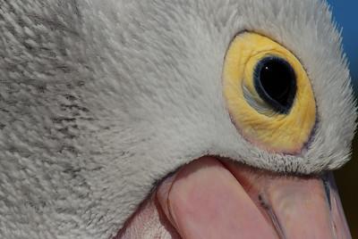 Pelikanauge