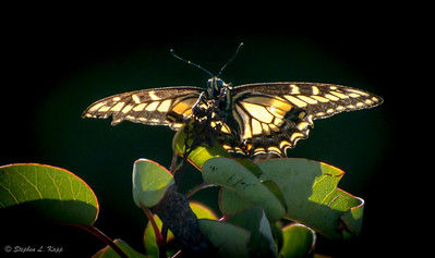 Anise Swalowtail Butterfly