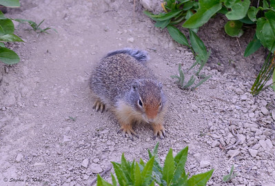 Rocky Mountain Ground Squirrel