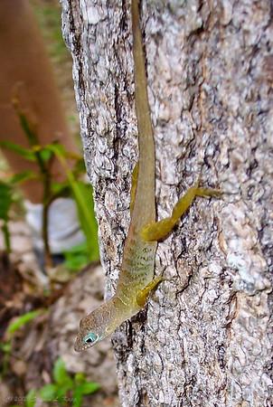 Lizard on St Maarten-St Martin Island