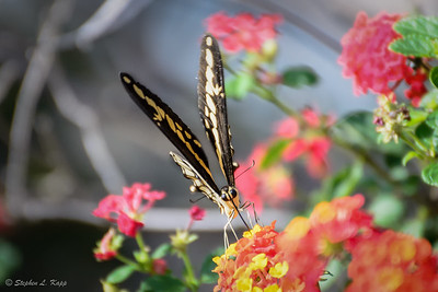Giant Swallowtail Butterfly
