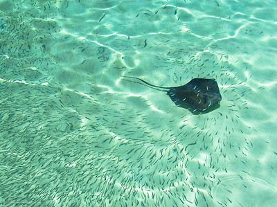 Stingray, The Bahamas
