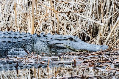 Alert Alligator
