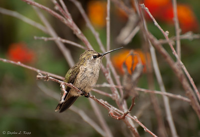 Perched Anna's Hummingbird