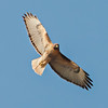 Soaring Red Tailed Hawk