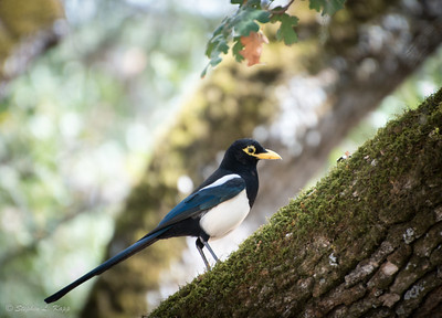 Yellow Billed Magpie - 1