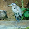 Graureiher (Ardea cinerea) Grey Heron
