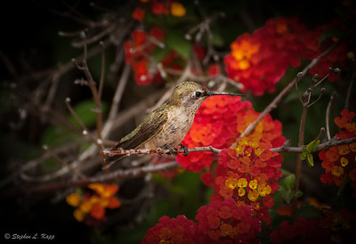 Anna's Hummingbird - Taking a Breather