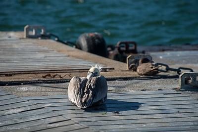 Pelican Nap