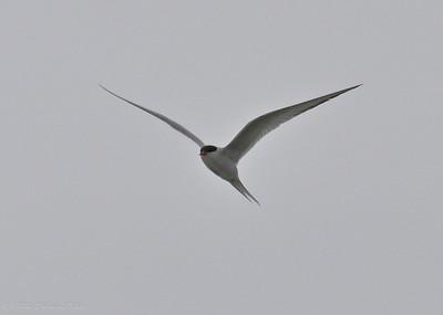 Arctic Tern Hovering in Flight
