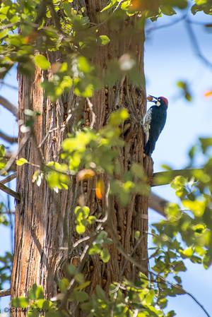 Acorn Woodpecker at Work