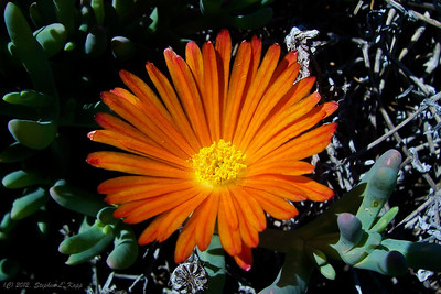 Orange Ice Plant Flower (Lampranthus)