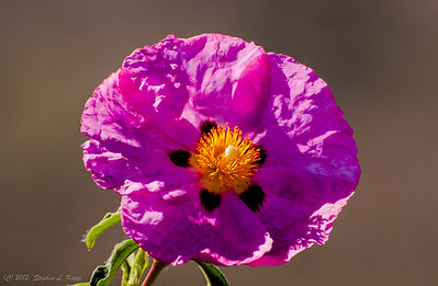 Lavender Hibiscus with Star Spots