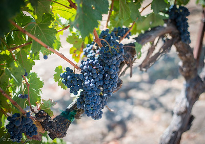 Grapes for the Harvest