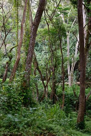 Jungle - Below Upper Ho'opi'i Falls