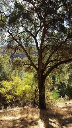 Sturdy Oak Sentinel