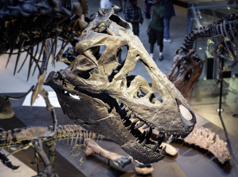 Detail of tyrannosaurus rex in the Dinosaur Hall at the Natural History Museum