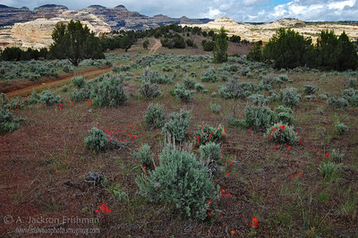 Spring flowers and sagebrush on the Yampa Bench, Dinosaur National Monument, June 2008.