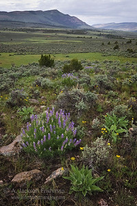 Lupines in Pot Creek Valley, northwestern Colorado, June 2010.