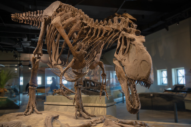 Tyrannosaurus Rex at theField Museum.  Part of the Evolving Planet exhibit