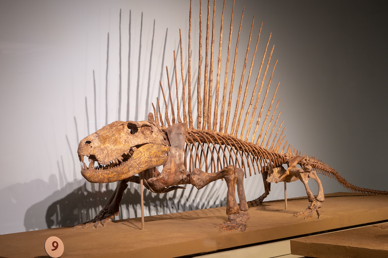 Dimetrodon on display at the Field Museum