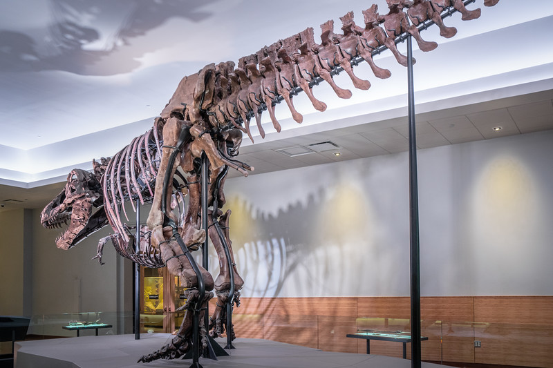 Sue, named after the woman who found her, on display at the Field Museum