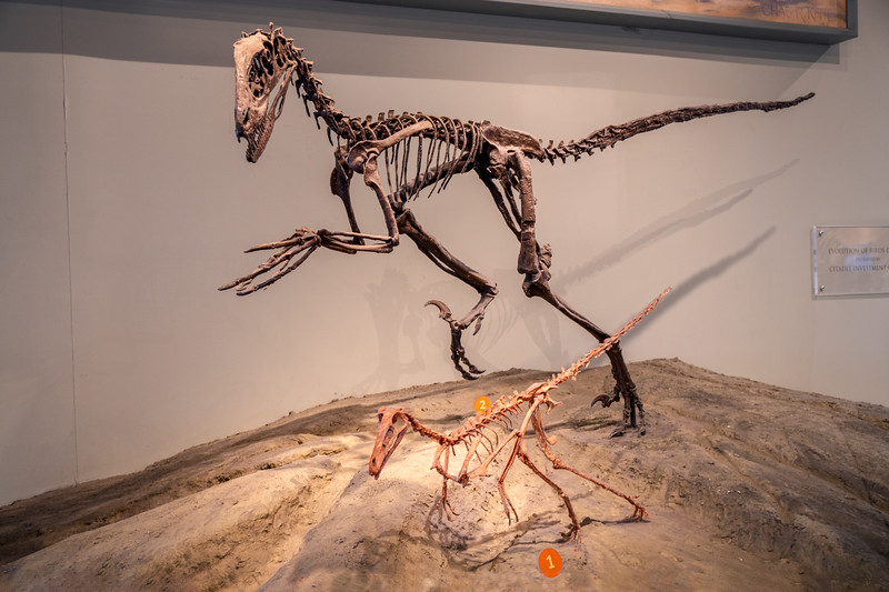Deinonychus and buitreraptor on display at the Field Museum