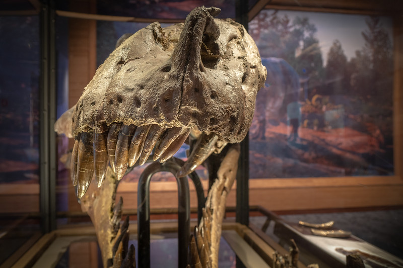 The bent or crushed nose of Sue, the tyrannosaur