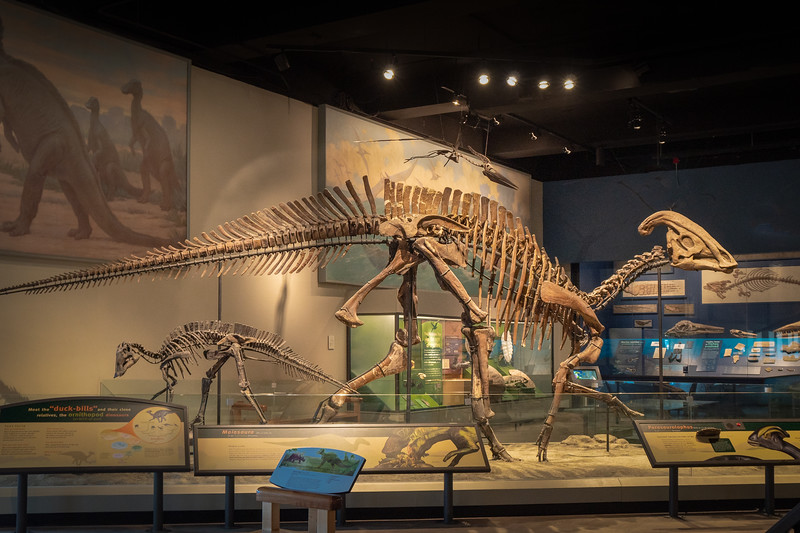Parasaurolophus at the Field Museum in Chicago