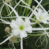 Spider Lily (Humemocallis liriosme) Family: Liliacae (Lily)