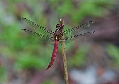 Metallica Dragonfly, Guyana, South America 2011 ak