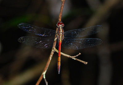 Metallica Dragonfly, Guyana, South America 2011