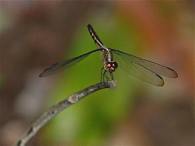 Dragonfly, Guyana (unidentified) 2011 ak