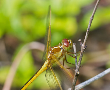 I shot this handheld at the Fern Forest in Coconut Creek, Florida. This is a 250 acre part consisting of about 225 acres of Red Maple Swamp. I haven't had much access to dragonflies before today, so I'm pretty excited to be shooting these unique creatures.
