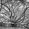 Tree of Wisdom - Pipiwai Trail, Maui, HI