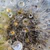 Dandelion Dew Cosmos