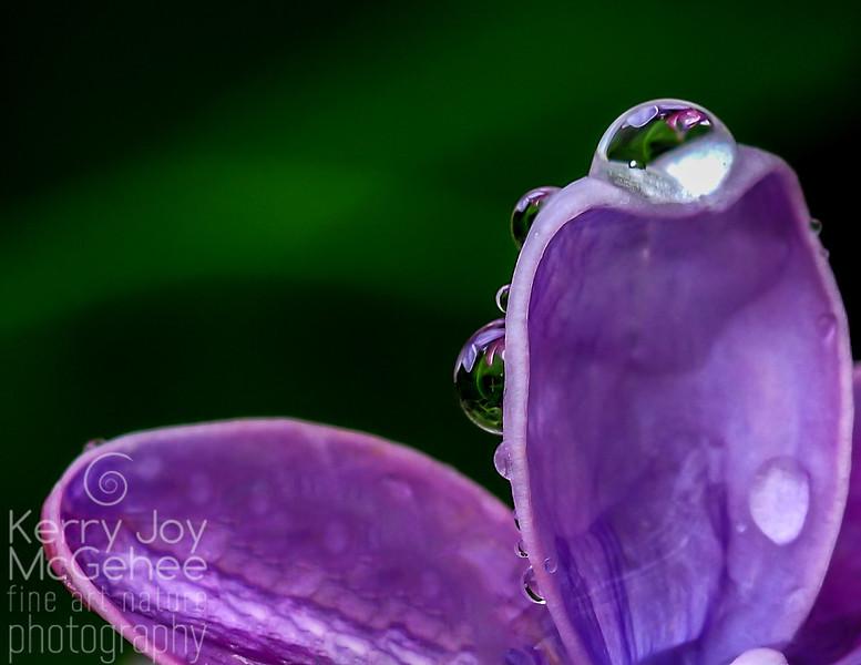 Lilac Droplets