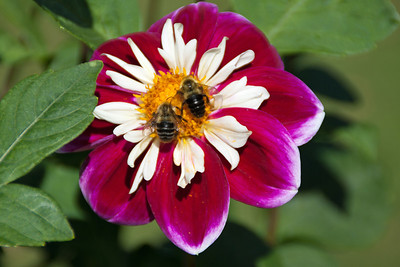 Honey bees feast on a Dahlia flower in the botanical gardens in Halifax, Nova Scotia