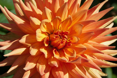 Orange dinner plate Dahlia in the Halifax, Nova Scotia botanical gardens.