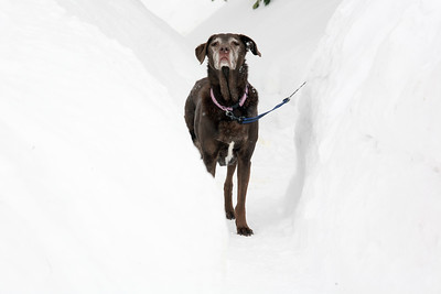 AMY SWEENEY/Staff photo. Sophie, a 13-year-old Lab looks exhausted from all of the snow surrounding her Danvers yard. 2/19/15