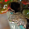 May 19: Pacific Tree Frog on edge of potted plant.
